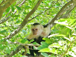 Playa Ocotal condo photo - Whitefaced Monkey
