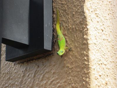 Gecko's are easy to find
