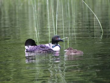 There are many nesting pair of loons on the lake. That is a favorite sound!