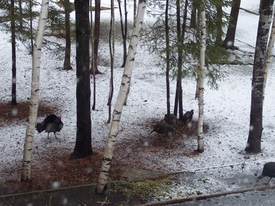 Spring Turkeys