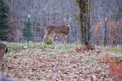 Deer in Backyard