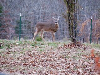 Macks Creek cabin photo - Deer in Backyard