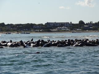 Chatham house photo - Seals enjoy the sun and water near the Chatham Bars Inn resort.