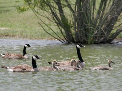 Resident Canadian geese are a joy to watch swimming in the pond and creek.