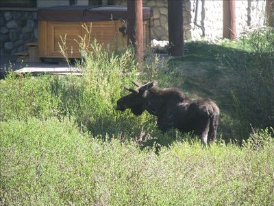 A moose in the open space across from our deck in the summer.