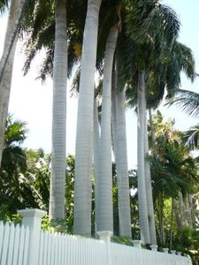 The stately palms of Truman Annex.