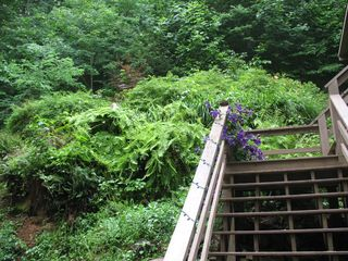 Burnsville cabin photo - Clematis and Ferns in Summer