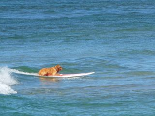 Princeville condo photo - You might even see the happy Hanalei Surfing Dog!