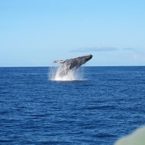 A Humpback Whale in season right out in front of our home seen from a kayak.