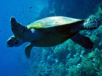 Swim with the turtles. We have snorkels for you to use during your stay.