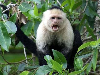 Drake Bay cottage photo - White-faced monkeys are seen daily