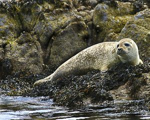 Oban, Isle of Mull & Lorn cottage photo - SEALS ON MULL