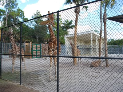 Giraffes at the Naples zoo, a little over a mile from our house.