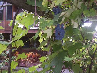 Kailua Kona house photo - Grapes in season if the birds don't get them first!