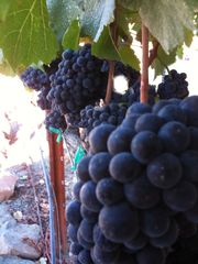 Sonoma house photo - Grapes are in full in september