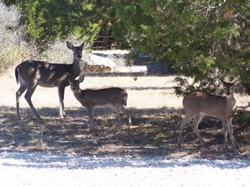 Concan cabin rental - Deer-Just Some of the Year Round Wildlife in Concan!