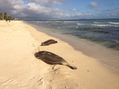 Monk Seal visit. Notice that Ewa beach has very few people - almost always.