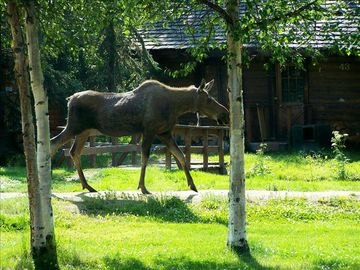Moose passing in front Ferree cabin by Denise Ferree