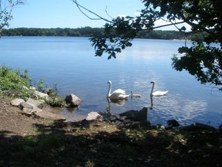 Dennis Village cottage photo - Swans visit 1 of 3 swimming entrances to lake on property.