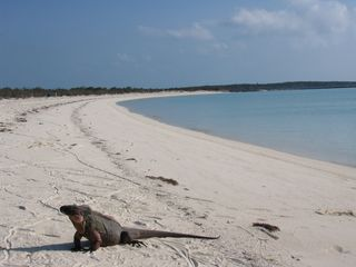 Staniel Cay house photo - Iguana on nearby island
