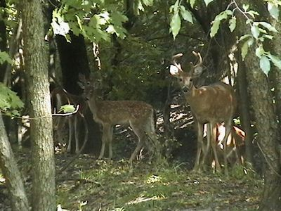 A family of deer-photo in cottage's back yard!