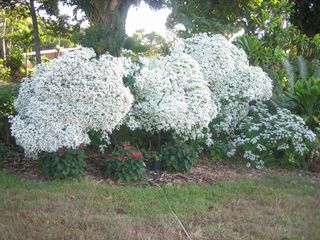 Kailua Kona house photo - Snowball plants bloom in the fall.