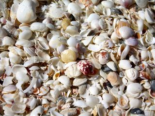 Sanibel Island condo photo - Shells on Bowman's Beach