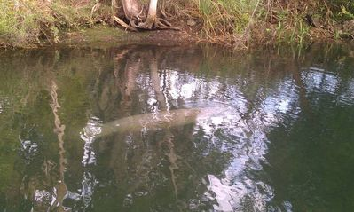Manatee passing through our canal.