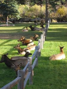 Elk harem relaxing on the property