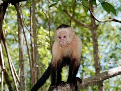 Monkeys visit you in Manuel Antonio Park