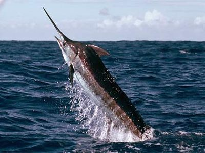 Manteo condo rental - Come visit Priate's Cove where the Big Blue Marlin and Big Eye Tuna call home..