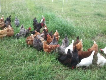 Our motley crew of chickens