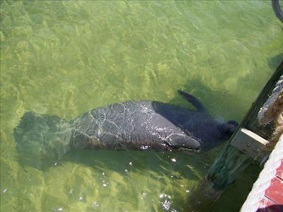 Manatee getting a drink of fresh water from our dock.