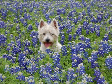 Bluebonnets in March