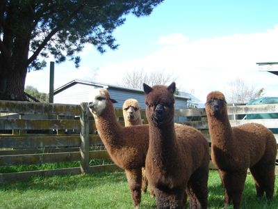 Peaceful country cottage on our alpaca farm