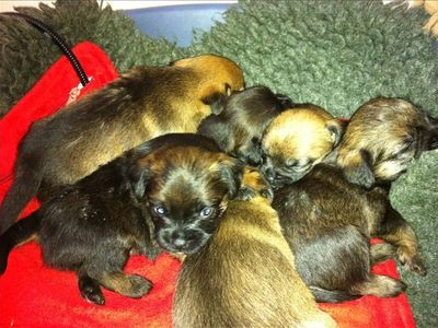 New Additions to the family.Nov 2010 ,6 border terrier pups