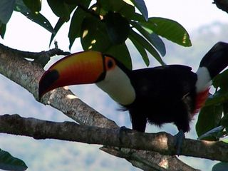 Praia Preta house photo - Curious Tucan on the trees next to the porch