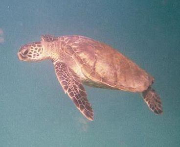 Honu Green Sea Turtle live in Napili Bay and you can snorkel with them!