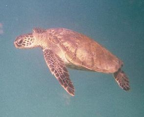 Napili condo photo - Honu Green Sea Turtle live in Napili Bay and you can snorkel with them!