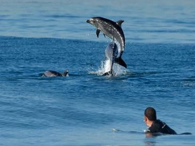 Dolphins join surfers and play right off our shore.