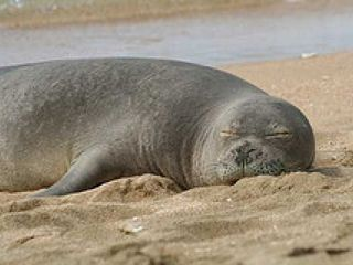 Poipu studio photo - Hawaiian Monk Seals love to relax on Poipu Beach