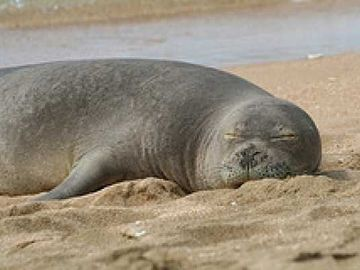 Hawaiian Monk Seals love to relax on Poipu Beach