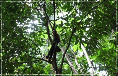 Capuchin Monkey - View from patio