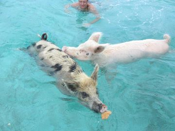 Swimming pigs in Exuma Cays tour
