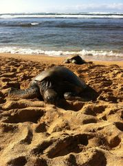 Sunset Beach house photo - Local turtles lazing in the sun