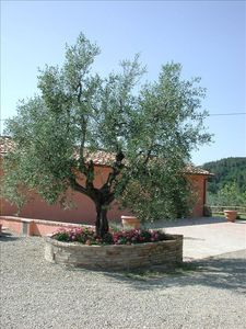 a typical tuscan olive tree
