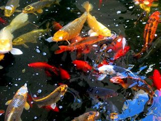 Oceanside condo photo - Stop by to feed the Koi Fish
