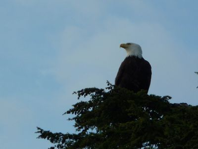 Eagle that nests on island -- more wildlife pictures follow