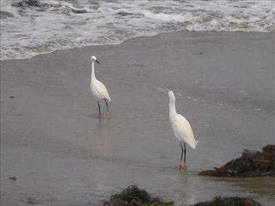 Egrets enjoying the water