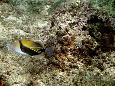 Snorkeling with the humuhumunukunukuapa'a (triggerfish) at Hideaways.